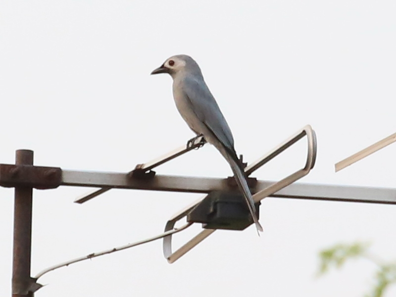 นกแซงแซวสีเทา-2