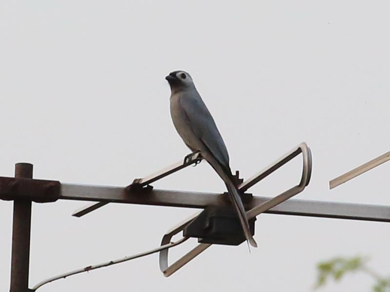 นกแซงแซวสีเทา-3