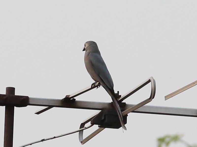 นกแซงแซวสีเทา-4