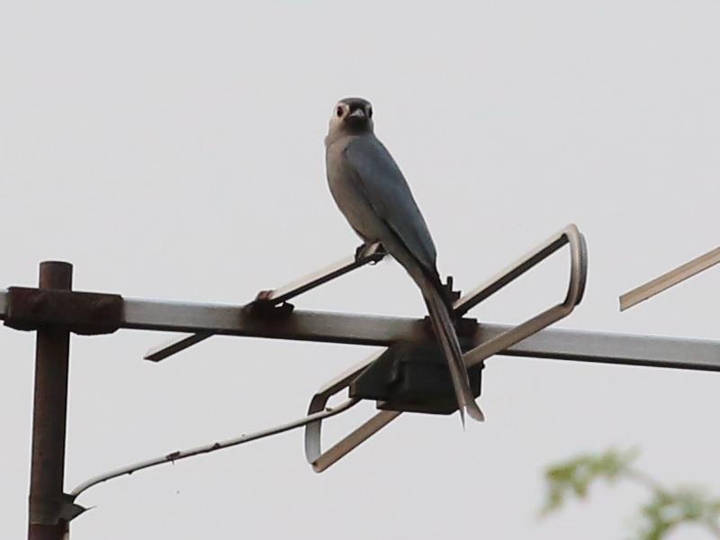 นกแซงแซวสีเทา-5