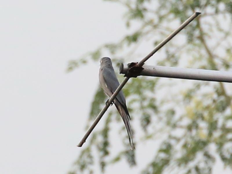 นกแซงแซวสีเทา-6