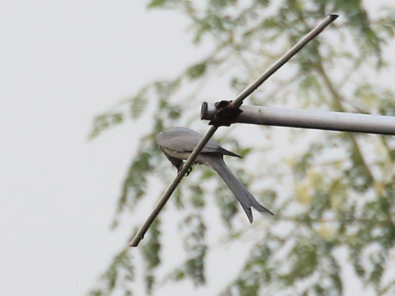 นกแซงแซวสีเทา-7