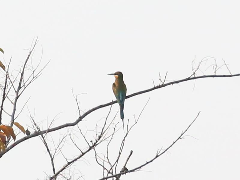 นกจาบคาหัวเขียว-1
