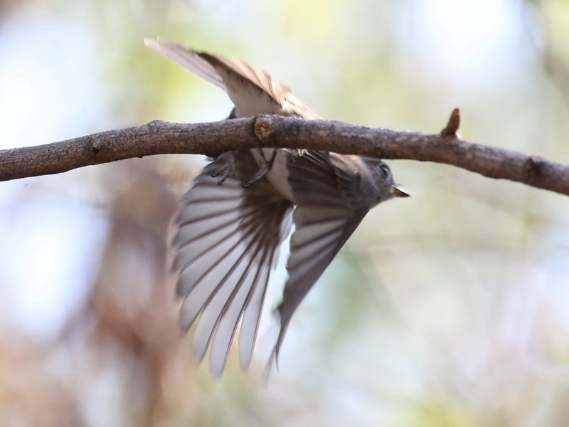 นกจับแมลงสีน้ำตาลตัวที่หนึ่ง-3