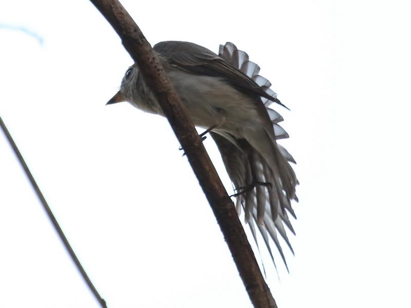 นกจับแมลงสีน้ำตาลตัวที่สอง-2