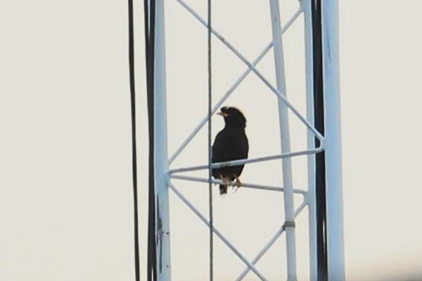 นกเอี้ยงหงอน-1