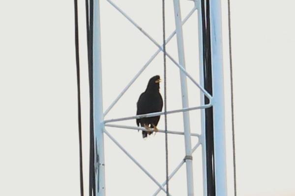 นกเอี้ยงหงอน-2