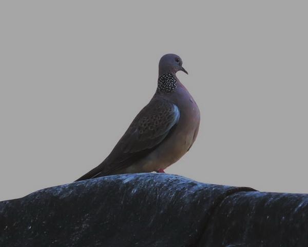 นกเขา-1