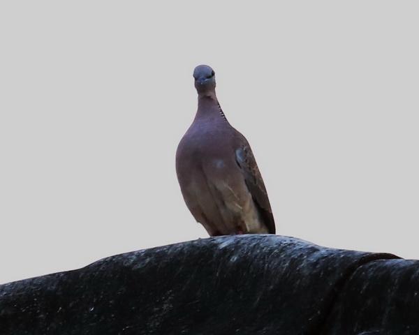 นกเขา-2