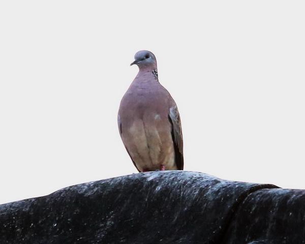 นกเขา-3