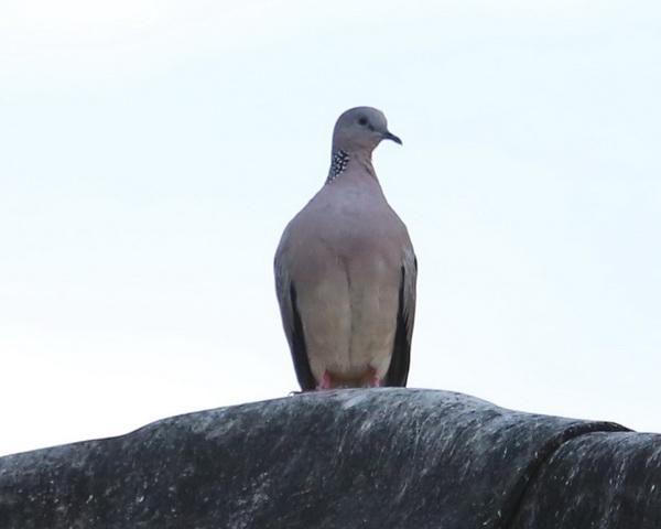 นกเขา-4