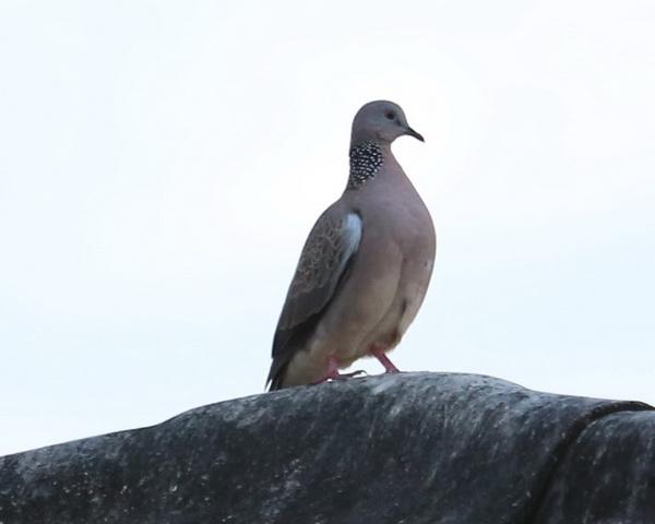 นกเขา-5
