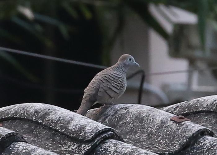 นกเขาชวา-3