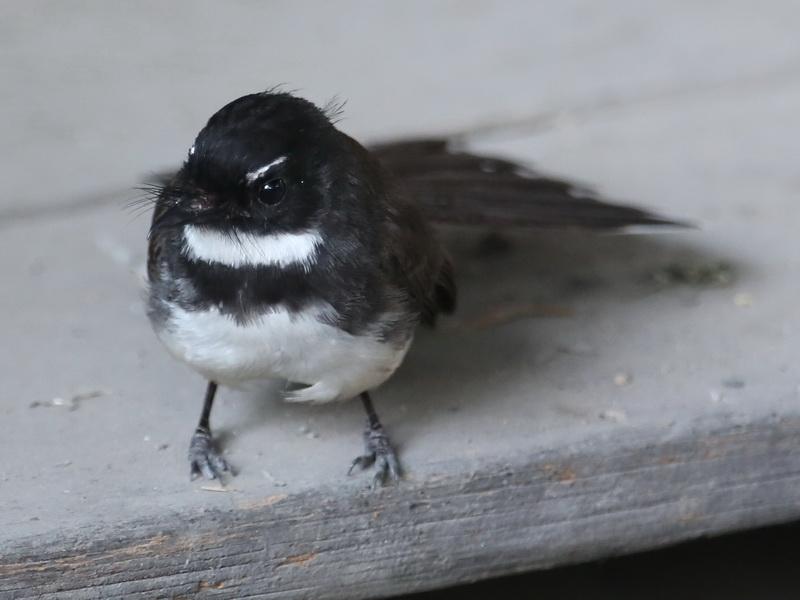 นกอีแพรดแถบอกดำ-2