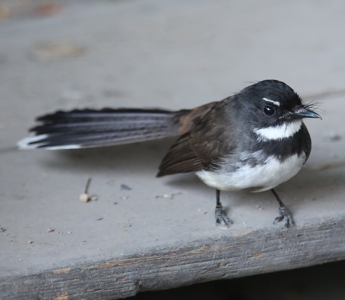 นกอีแพรดแถบอกดำ-1