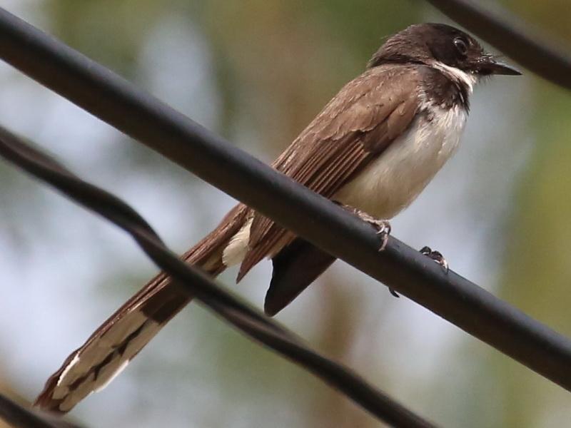 นกอีแพรดแถบอกดำจากดงธูปฤาษี