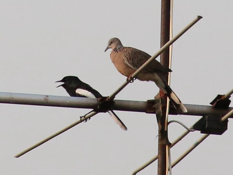นกกางเขนบ้านตัวผู้คู่นกเขาใหญ่