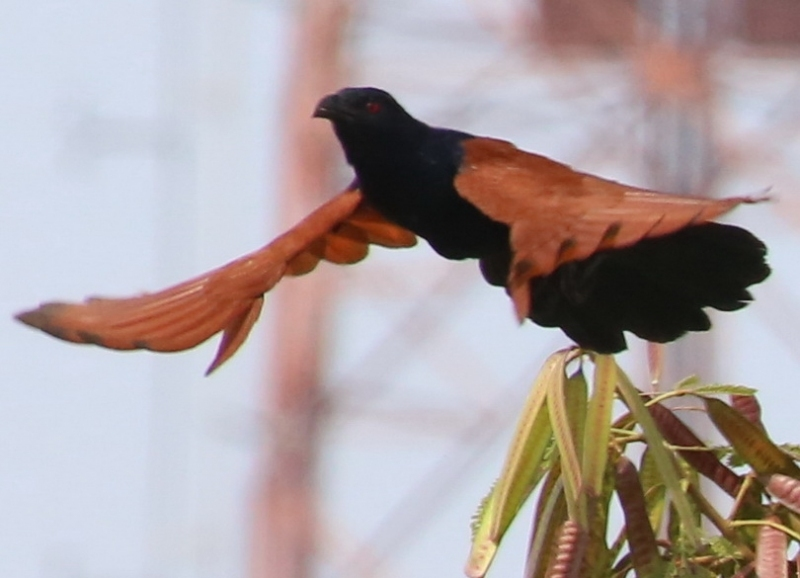 นกกะปูดใหญ่-3