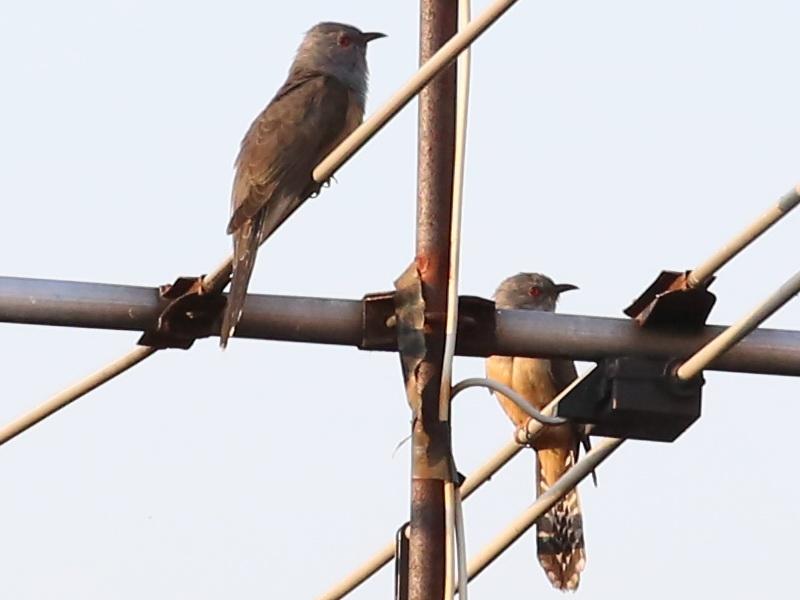 นกคัคคูหางแพน-1