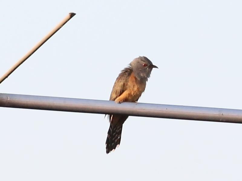 นกคัคคูหางแพน-2