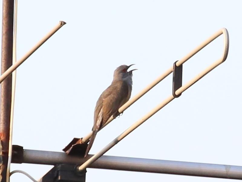 นกคัคคูหางแพน-5
