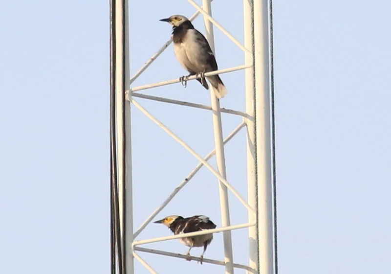 นกกิ้งโครงคอดำ-1