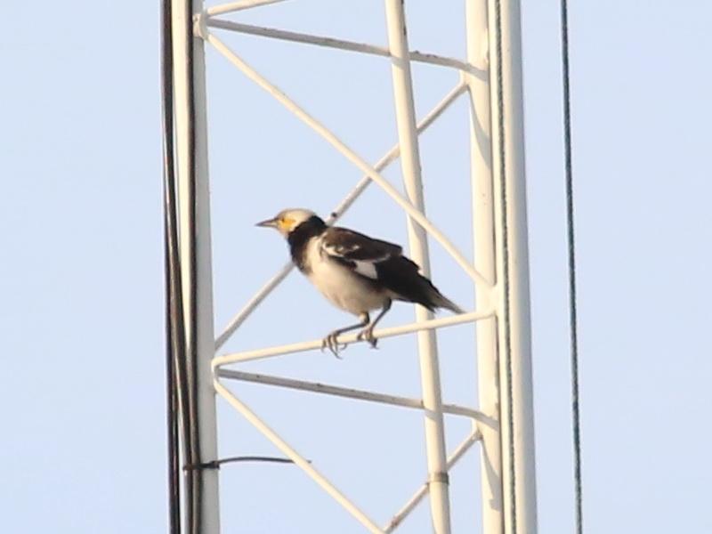 นกกิ้งโครงคอดำ-2