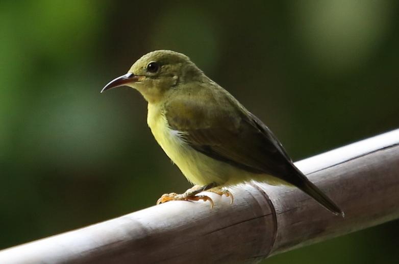 นกกินปลีคอสีน้ำตาล-A