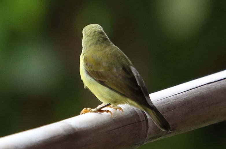 นกกินปลีคอสีน้ำตาล-B