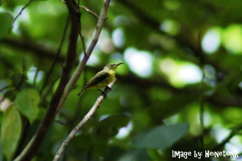 นกกินปลีอกเหลือง.jpg