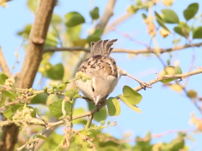 นกกระจอกใหญ่ตัวเมีย-3