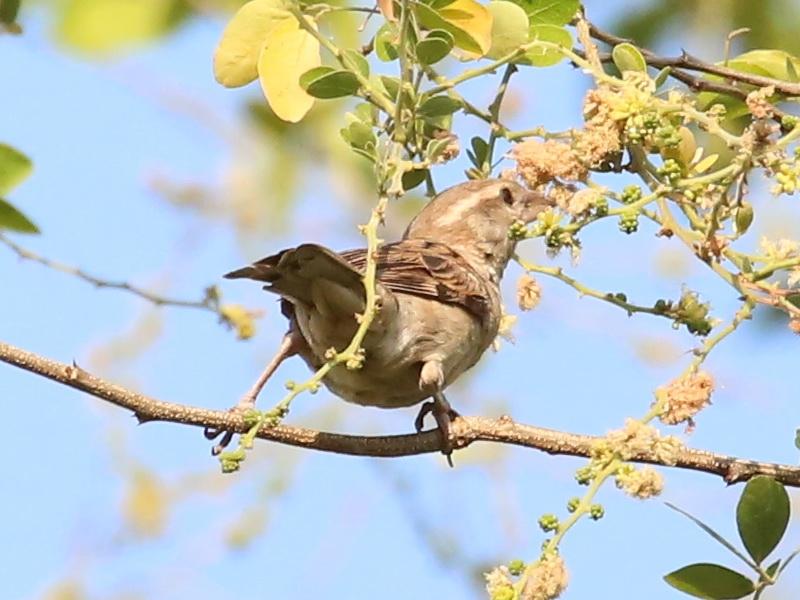 นกกระจอกใหญ่ตัวเมีย-4