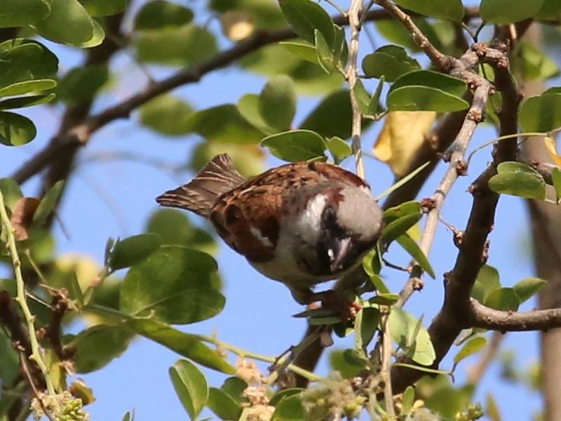 นกกระจอกใหญ่ตัวผู้-3
