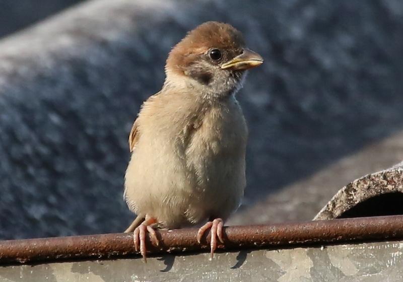 นกกระจอกเด็ก-1