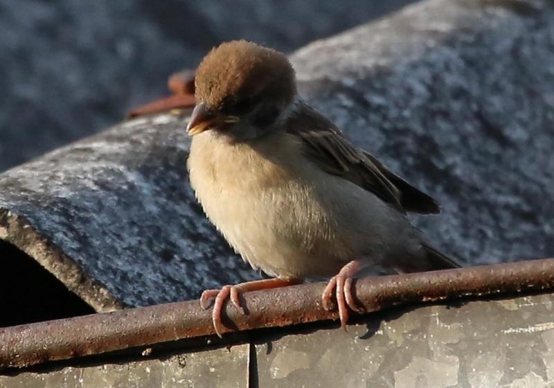 นกกระจอกเด็ก-2