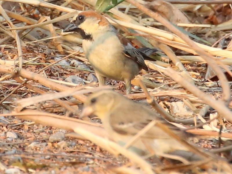 นกกระจอกตาลตัวผู้กับนกกระจอกตาลตัวเมีย