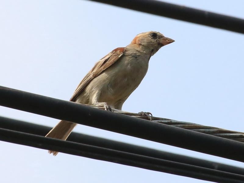 นกกระจอกตาลตัวผู้วัยอ่อน-1
