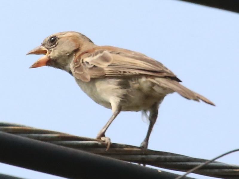 นกกระจอกตาลตัวผู้วัยอ่อน-2