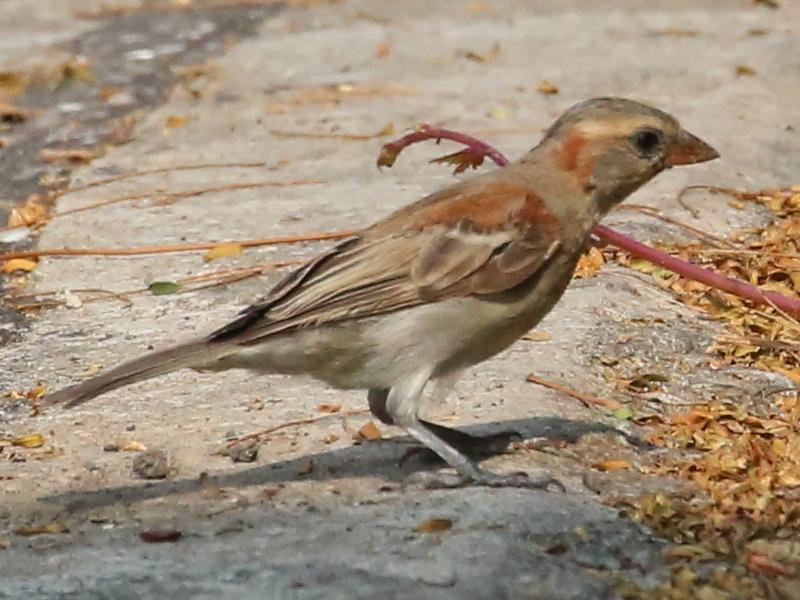 นกกระจอกตาลตัวผู้วัยอ่อน-3