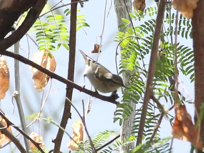 นกกระจ้อยสีไพล-1