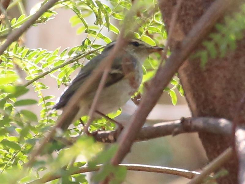 นกกระจ้อยสีไพล-2