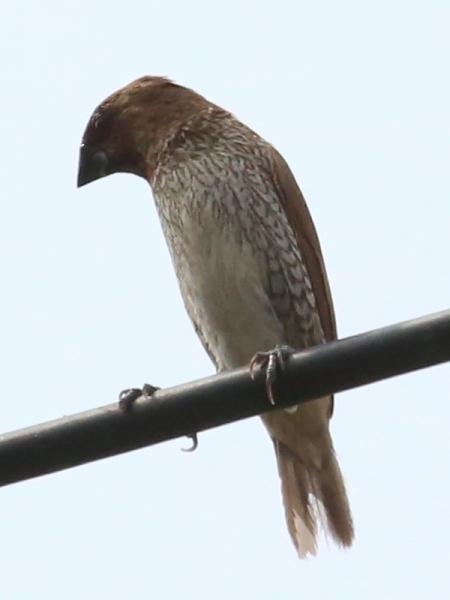 นกกระติ๊ดขี้หมู-1