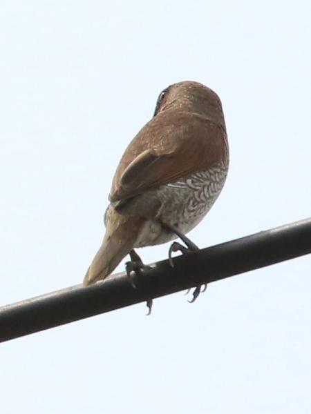 นกกระติ๊ดขี้หมู-2