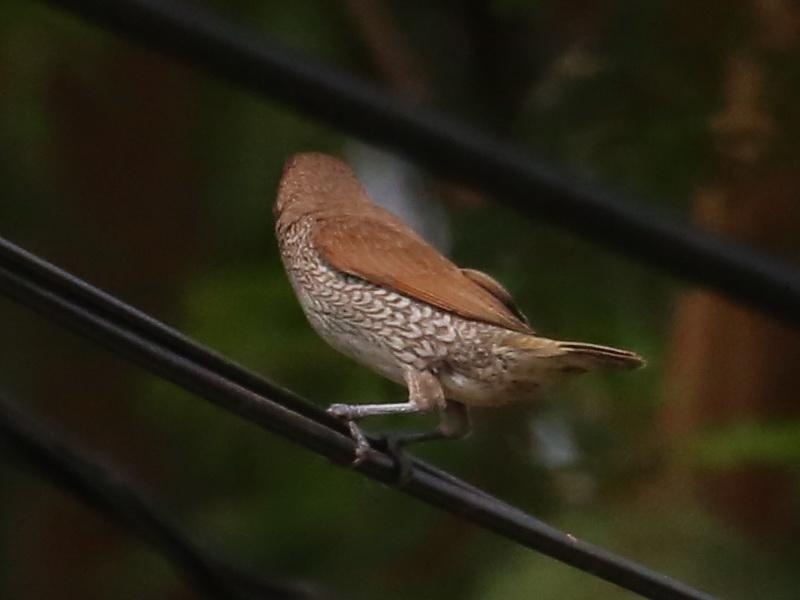 นกกระติ๊ดขี้หมู-3
