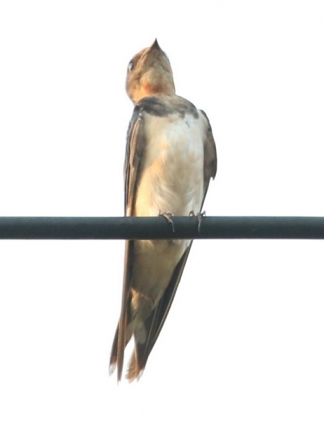 นกนางแอ่นบ้านเกาะสายไฟ-2