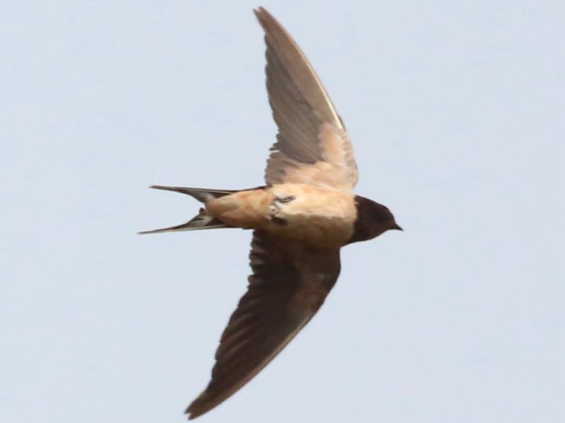 นกนางแอ่นบ้านจากดงธูปฤาษี