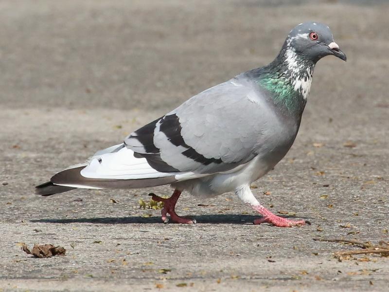 นกพิราบสีสวย-1