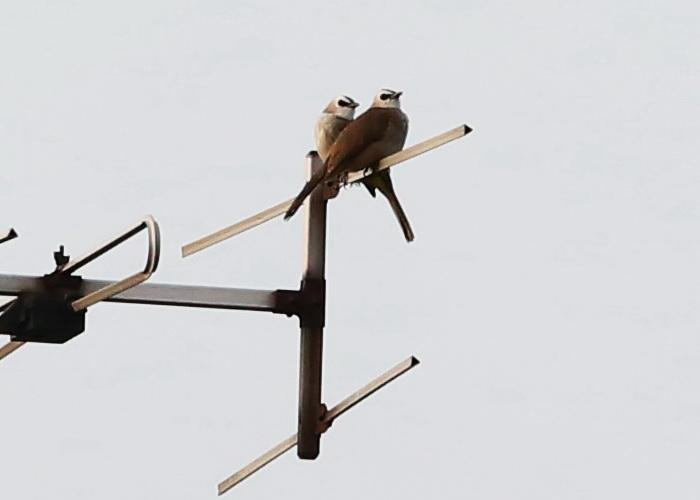 นกปรอดหน้านวล-1