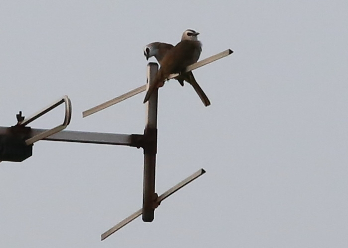 นกปรอดหน้านวล-2