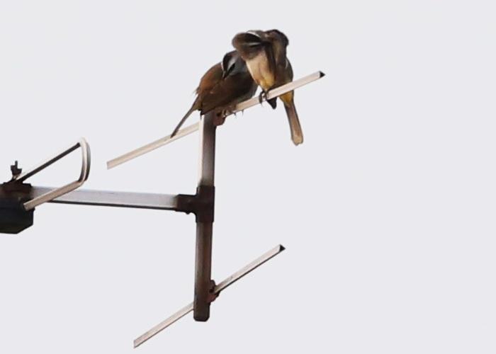 นกปรอดหน้านวล-3